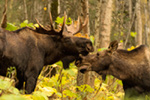 Big 57 Inch Bull Moose Alaska Photo