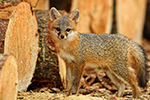 Gray Fox Kit in Logs