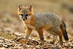Gray Fox Kit Up Close Photo