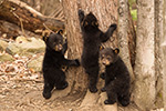 Three Tiny Black Bear Cubs Photo