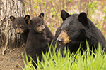 Female Black Bear and Cubs in Grass Photo