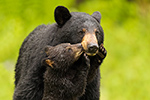 Wet Female Black Bear and Cub Kissing Photo