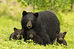 Female Black Bear and 3 Cubs Family Photo