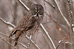 Great Gray Grey Owl in Tree Photo