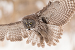 Great Gray Grey Owl in Flight Photo