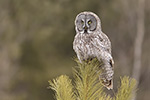 Great Gray Grey Owl in Pine Tree Photo