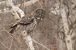 Great Gray Grey Owl in Birch Tree Photo