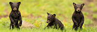 Three Wet Tiny Black Bear Cubs Panoramic Photo