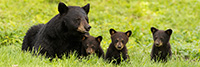 Female Bear and Three Black Bear Cubs Panoramic Photo