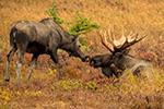 Kissing Moose Photo