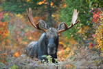 Bull Moose in Foliage Colors