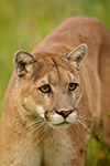 Mountain Lion Portrait Photo