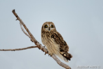 Photo of Short Eared Owl