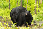 Female Black Bear with Male Behind