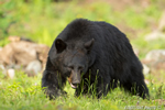 Black Bear Power Walk