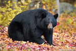 Black Bear in Beautiful Foliage