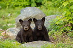 1 Month Old black bear Cubs