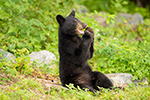 Black Bear Cub Sitting and Praying