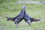 Photo of Wild Turkeys Fighting