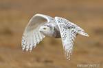 Snowy Owl in Flight Photo