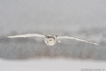 Photo of Snowy Owl in Snow Storm