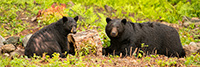 Male black Bear Courting Female Photo