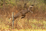 8pt Whitetail Deer Jumping Fence