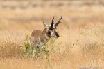 Photo of Pronghorn in grass